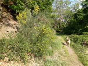 Eifel im Mai: Ginsterbüsche am Weg