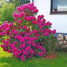 Roter Rhododendron im Vorgarten