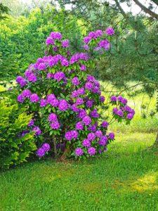 Lila Rhododendron im hinteren Garten