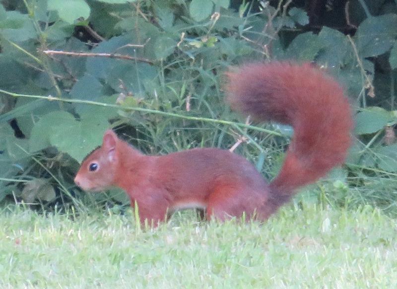 rotes Eichhörnchen im Profil