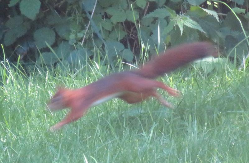 Eichhörnchen im Sprung (verwischt)