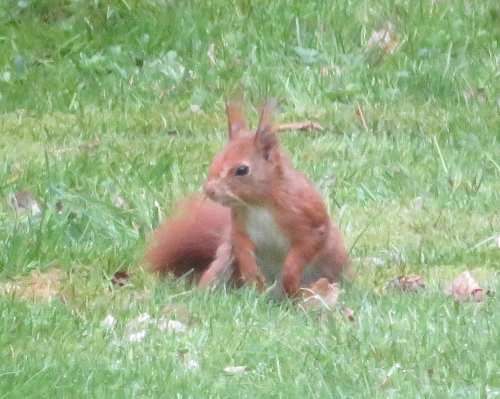 hellbraunes Eichhörnchen auf dem Spürung